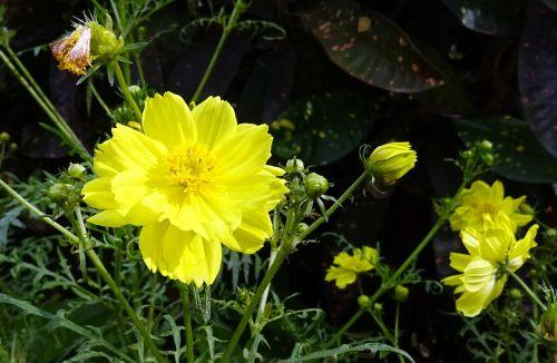 gėlė,kosmosas,kosmoso sulfurozė,sieros kosmosas,geltona kosmosas,flora,žydėti,Dharwad,Indija