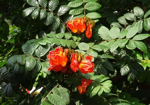 gėlė,spathodea,augalas,medis,bignoniaceae,spathodea campanulata,african tulip tree,fontanas,pichkari,Nandos liepsna,Dharwad,Indija