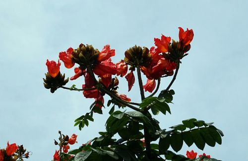 flower,spathodea,plant,tree,bignoniaceae,spathodea campanulata,african tulip tree,fountain tree,pichkari,nandi flame,dharwad,india