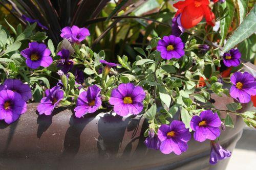 flower purple pot