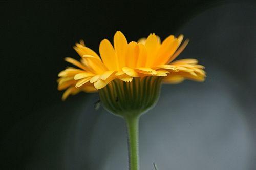 flower orange blossom