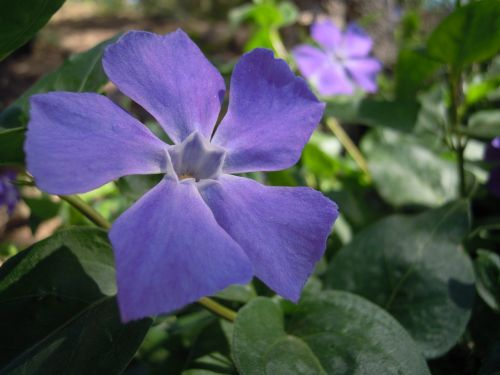 vinca minor flower garden