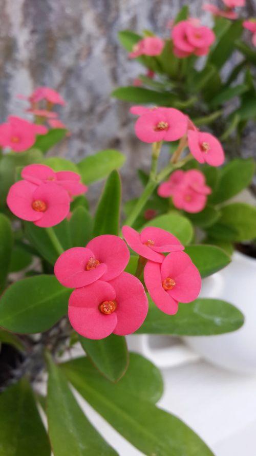 flower kirin flower euphorbia milii