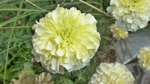 flower yellow pompom