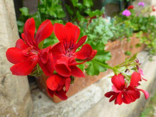 flower red jardiniere
