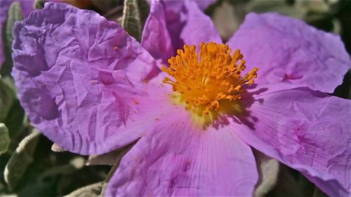 flower jara steppe
