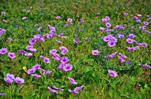 flower ipomoea nature