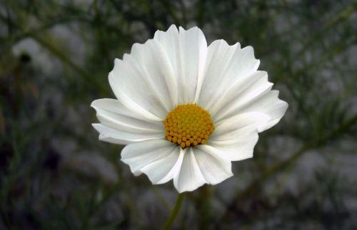 flower cosmos cosmea