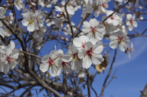 flower almond tree nature
