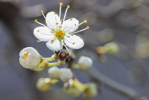 flower blackthorn blossom spring