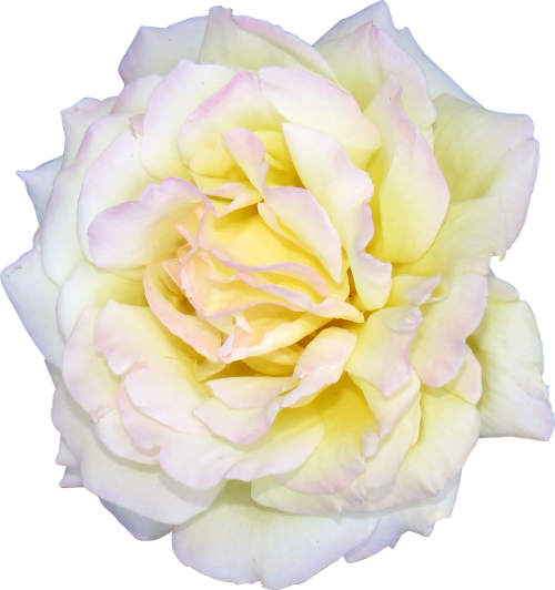 flower rose white