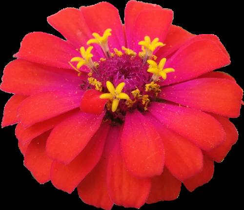 flower red zinnia