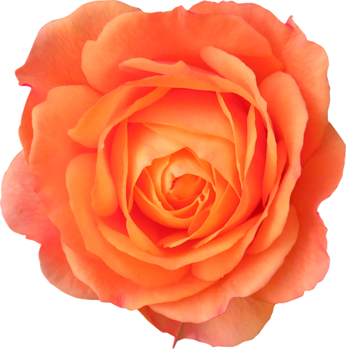 flower orange rose