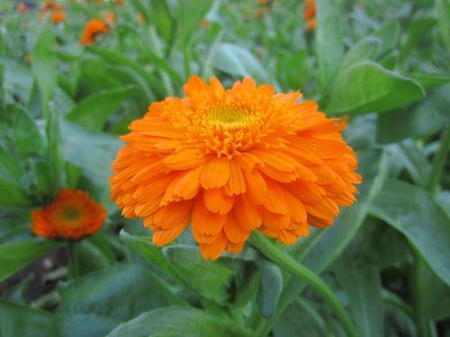 flower orange flowers orange