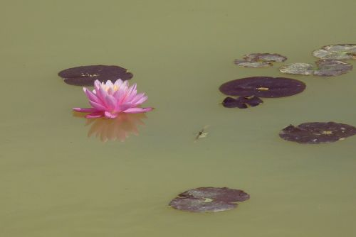 flower water lily aquatic plant