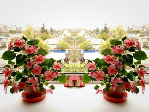 balzamas,simetrija,šviesa,žydėti,žiedlapiai,flora,gamta,rožinis,asteraceae