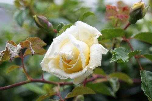 gėlė,rožinis,sodas,gamta,žydėjimas,Balta rožė,botanika,flora