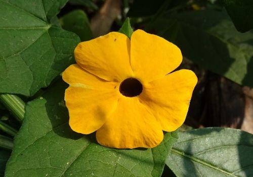 flower orange thunbergia alata