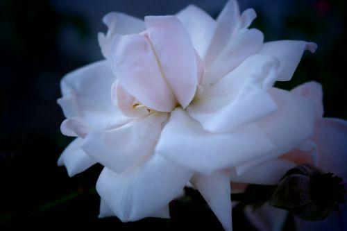 flower tickets rose