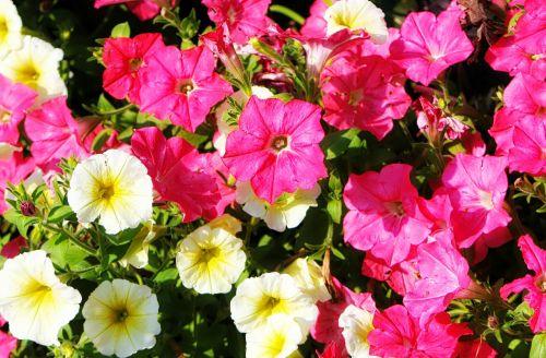 flower petunia summer wave petunia