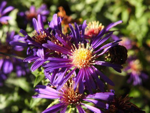 gėlė,žiedas,žydėti,ruduo,nudrus,gamta,augalas,violetinė,purpurinė gėlė