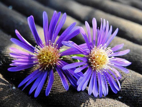 gėlė,žiedas,žydėti,gamta,augalas,violetinė,purpurinė gėlė,medžiaga,struktūra,fonas