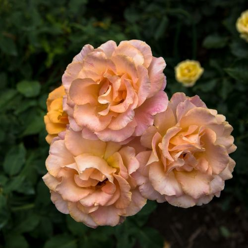 flower flora rose