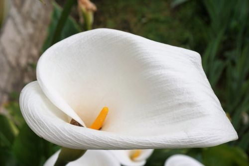 flower,arum,flora,flowering,white,plant,botany
