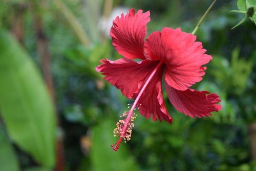 gėlė,džiunglės,Kambodža