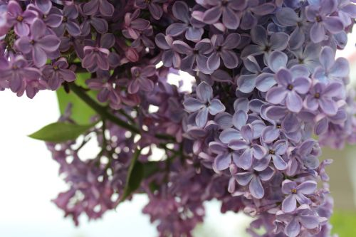 flower flowers lilac