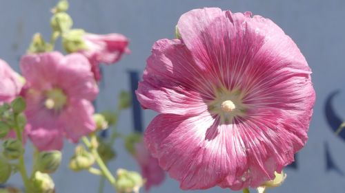 flower hollyhock nature