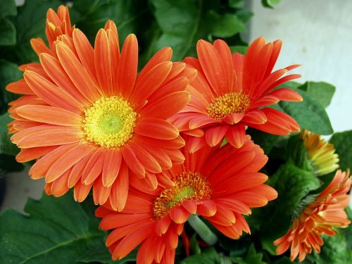 flower orange daisy floral