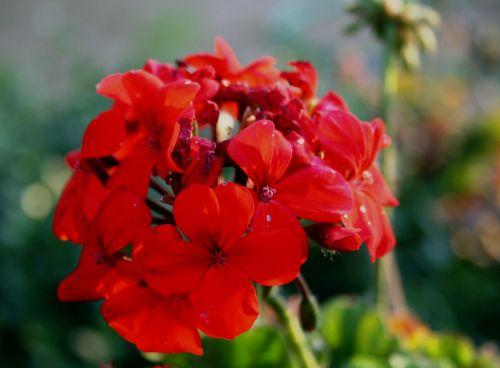 flower red petals