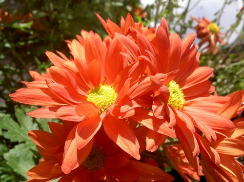 flower orange orange flowers
