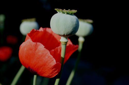 flower poppy bloom