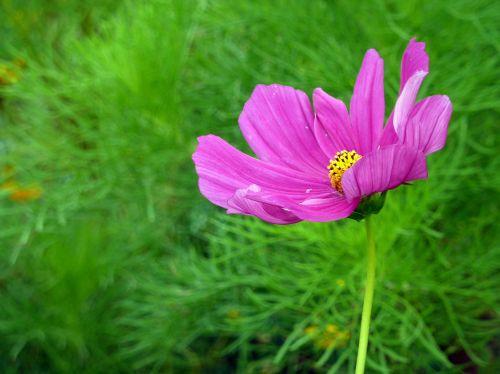 gėlė,žiedas,žydėti,violetinė,gamta,augalas,Uždaryti,purpurinė gėlė,mažos gėlės,filigranas