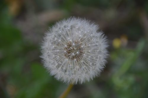 flower dandelion flora
