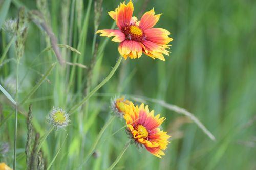 flower summer konkardenblume