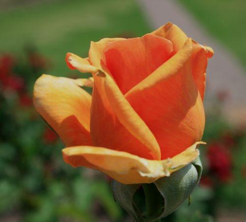flower bloom bud