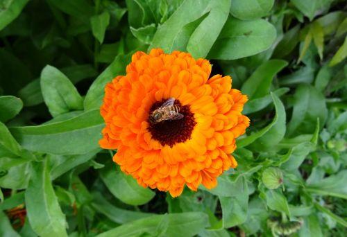 flower calendula pot marigold