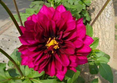 gėlė,dahlia,dekoratyviniai dahlia,asteraceae,delhi,Indija