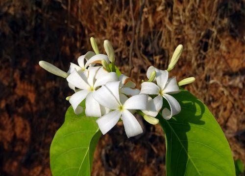 flower white wild
