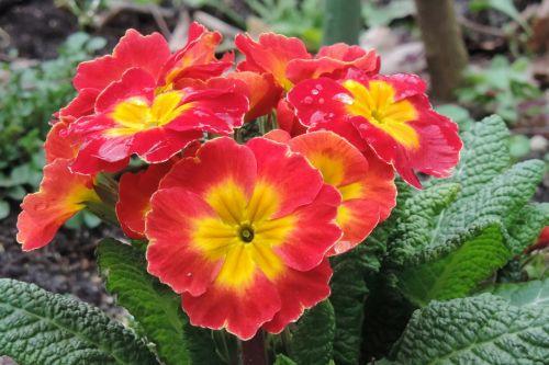 flower flowers primrose