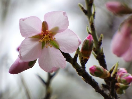 flower almond tree florir