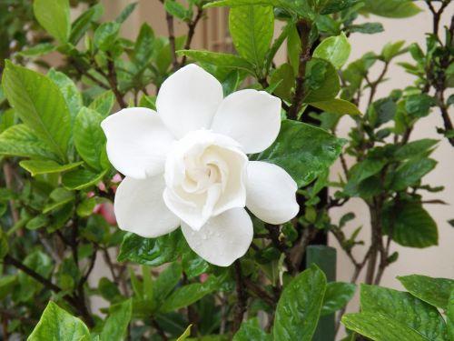 flower gardenia white