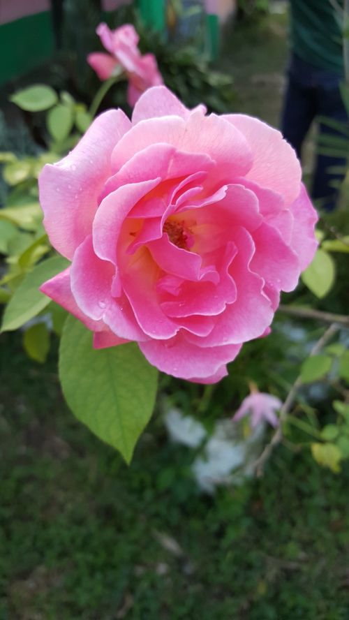flower flowers rosa