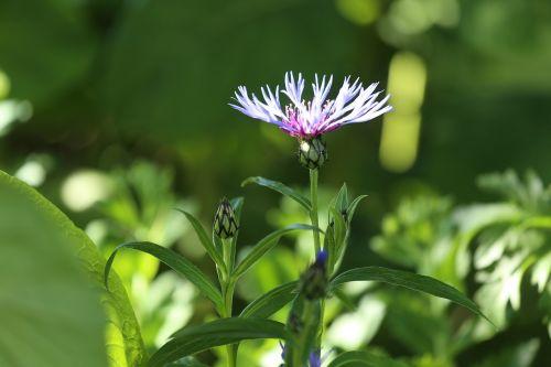 flower plant cornflower