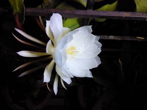 flower bramhakamal flower annual blossom