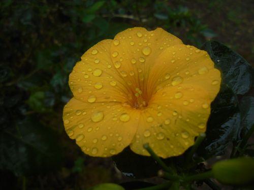 flower deltota yellow