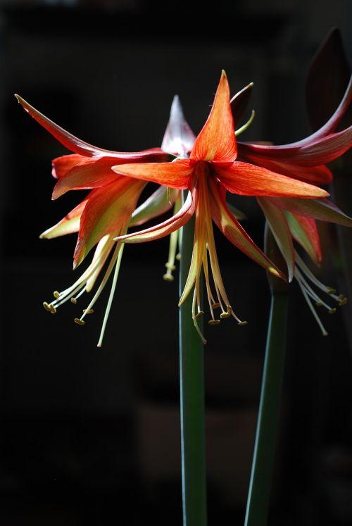 flower plant hippeastrum
